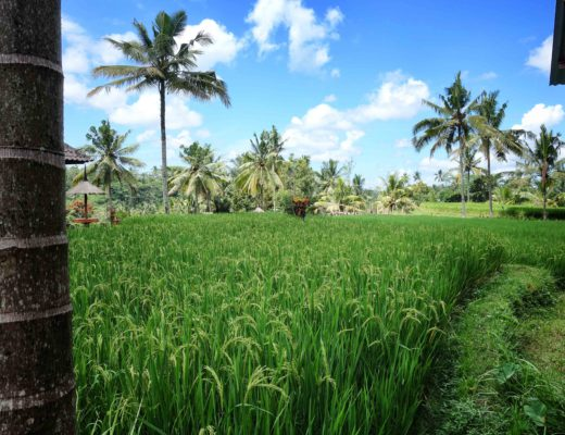 Bali - Ubud - Riziere