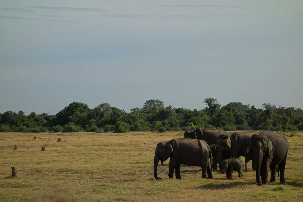 Sri Lanka Safaria Kaudulla Famille Elephants
